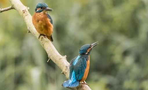 Kingfishers - Carl Lane